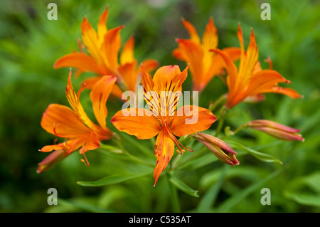 Alstroemeria, Peruvian Lily or Lily of the Incas - Stock Photo