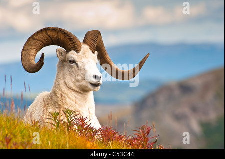 Adult Dall sheep ram resting on a hillside on Fall tundra near Savage River Valley in Denali National Park, Alaska - Stock Photo