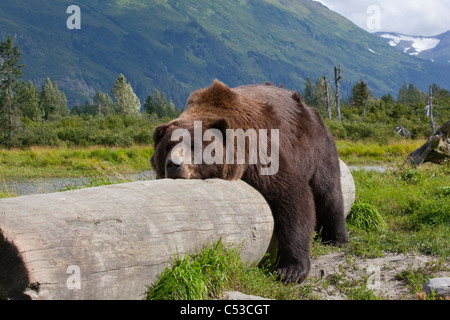 An adult male Brown bear lays on and lazily straddles a log, Alaska Wildlife Conservation Center, Alaska, Summer. - Stock Photo