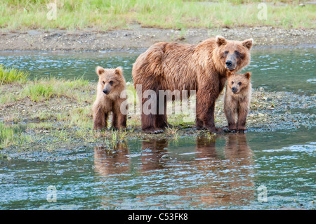 Brown Bear sow stands in a stream with her spring cubs in Chinitna Bay, Lake Clark National Park, Southcentral Alaska, - Stock Photo