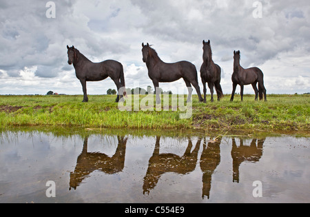 The Netherlands, Lemmer, Young Frisian horses. - Stock Photo