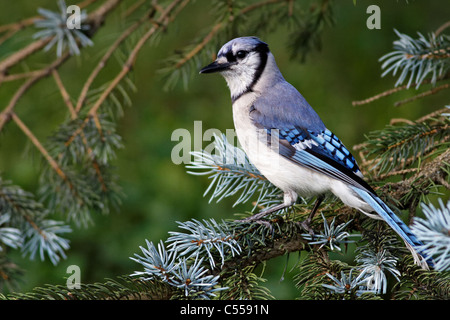 Blue Jay / Geai bleu (Cyanocitta cristata) - Stock Photo