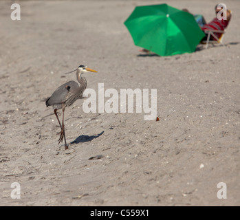 Great blue heron running on the sandy tropical beach with people looking at it - Stock Photo