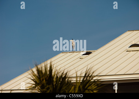 Great blue heron standing on the roof of the resort hotel in tropical place - Stock Photo