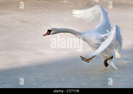 The Netherlands, 's-Graveland, Rural estate called Gooilust. Winter, snow. Mute swan, Cygnus Olor, landing on ice. - Stock Photo