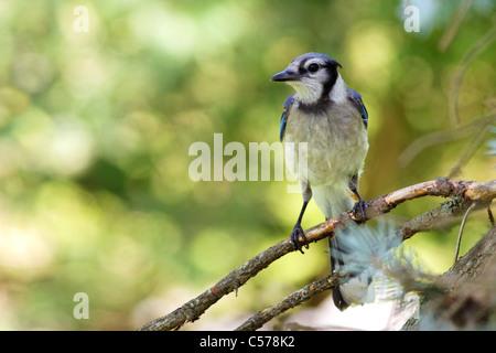 Blue Jay / Geai bleu (Cyanocitta cristata) - Stock Photo