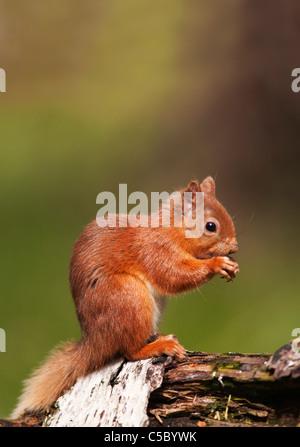 Red squirrel Sciurus vulgaris feeding on fallen log in woodland,  Strathspey, Scotland - Stock Photo