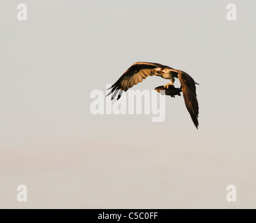 Osprey Pandion haliaetus in flight with Rainbow Trout above the Spey Valley, Scotland - Stock Photo
