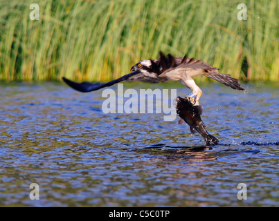 Osprey Pandion haliaetus with large trout in Talons, Spey Valley, Scotland - Stock Photo