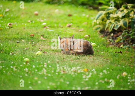 Red fox sleeping in a suburban garden in London surrounded by windfall Bramley apples - Stock Photo