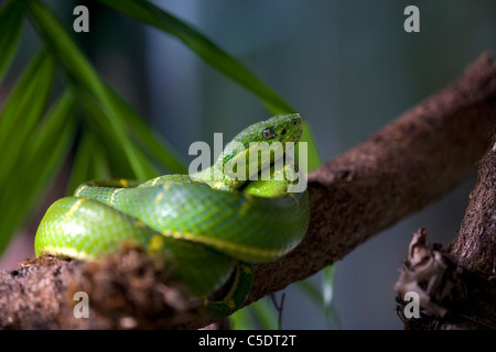 Close-up of an alert green poisonous snake on stem against blurred background in Costa Rica - Stock Photo