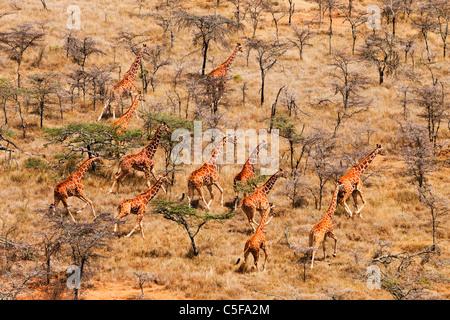 Aerial view of Reticulated Giraffe (Giraffa camelopardalis reticulata) in Kenya. - Stock Photo
