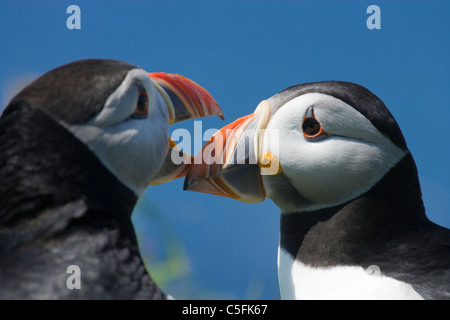 Puffins bill tapping courtship, Fratercula arctica, UK. - Stock Photo