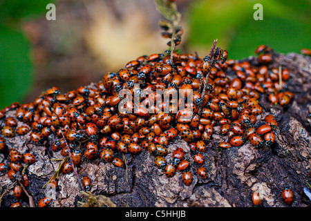 Ladybugs on branch - Stock Photo