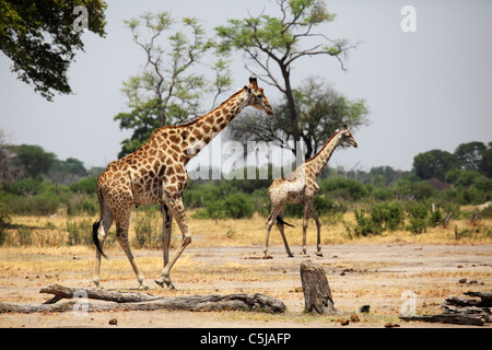 Giraffes (Giraffa camelopardalis) walk through a clearing in Hwange National Park, Zimbabwe. - Stock Photo