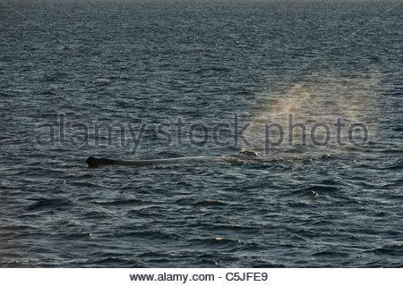 Humpback whale (Megaptera novaeangliae), Silver Bank, Dominican Republic, Atlantic Ocean - Stock Photo