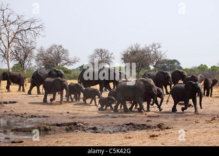 A herd of African elephants (Loxodonta africana) in Hwange National Park, Zimbabwe. - Stock Photo