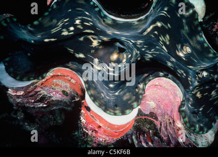 Giant Clam (Tridacna maxima) exposing mantle. Papua New Guinea, Pacific Ocean - Stock Photo