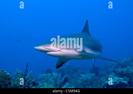 A Caribbean Reef Shark swims by a diver at Roatan,off the coast of Honduras. - Stock Photo