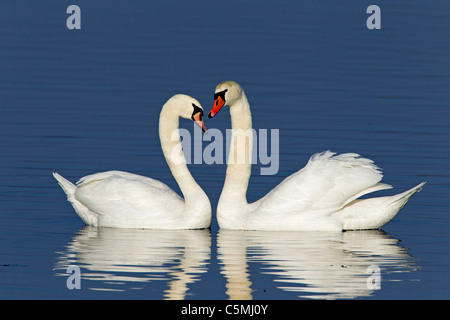 Mute Swan (Cygnus olor), couple displaying. - Stock Photo