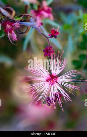 Pink Fairy Duster (Calliandra eriophylla), single flower - Stock Photo