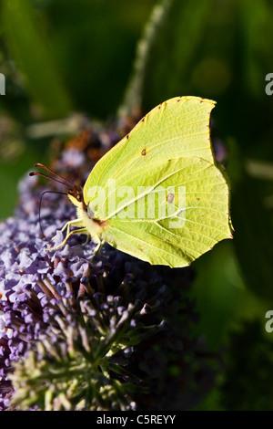 A Brimstone butterfly feeding on a buddleia - Stock Photo