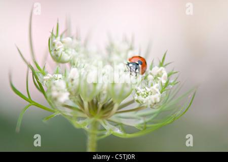 A single 7-spot Ladybird on a Queen Anne's lace flower headCoccinella septempunctata - Stock Photo