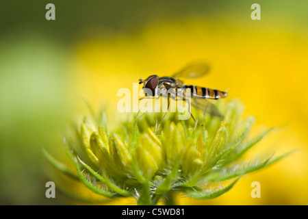 A Hoverfly, flower fly or syrphid fly on a Blanket flower bud - Stock Photo