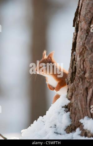 Red Squirrel (Sciurus vulgaris). Adult in snow in pine forest. - Stock Photo