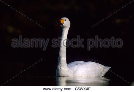 Bewick's Swan Olor columbianus bewickii Slimbridge Gloucester, UK BI003815 - Stock Photo