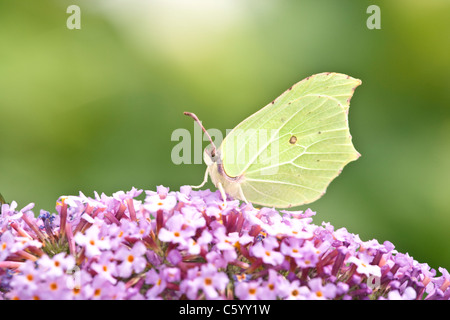 Brimstone butterfly, Gonepteryx rhamni, feeding on Buddleja flower. - Stock Photo