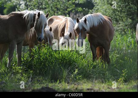 Haflinger Horse (Equus ferus caballus). Group of mares eating grass. - Stock Photo