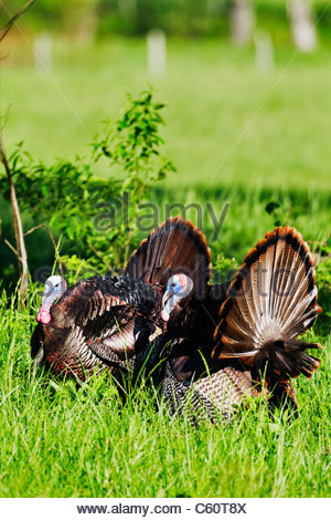 Two wild male (tom) Turrkey's (Meleagris gallopavo) in full strut - Stock Photo