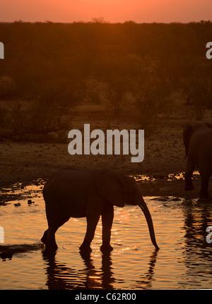 Elephants drinking from the Moringa waterhole. Etosha national park, Namibia. - Stock Photo