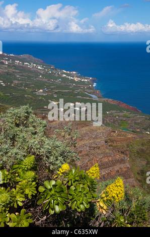 Coast a Bartolo, Tree aenium (Aeonium arboreum), La Palma, Canary islands, Spain, Europe, Atlantic ocean - Stock Photo