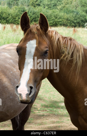 Arabian Horse in a paddock Equus ferus caballus - Stock Photo