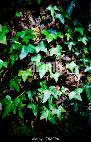 Ivy climbing (lat. Hedera helix) winds around the trunk of the tree - Stock Photo