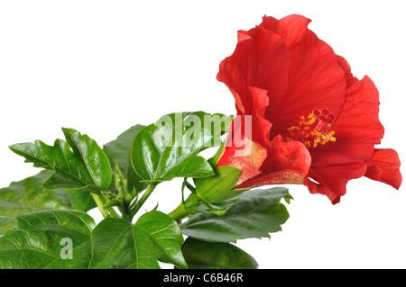China Rose - Stock Photo