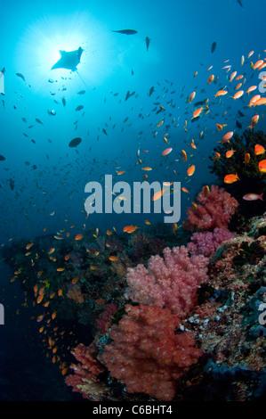 Devil ray swimming over reef, Maldives. - Stock Photo
