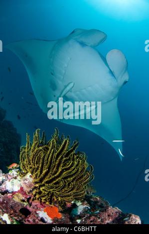 Manta Ray, Manta birostris, swimming over reef, Crinoid in foreground, North Male Atoll, Maldives - Stock Photo