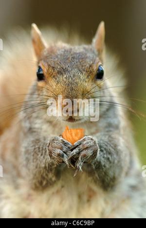 Gray Squirrel (Sciurus carolinensis) eating a nut in Union Square Park, New York - Stock Photo