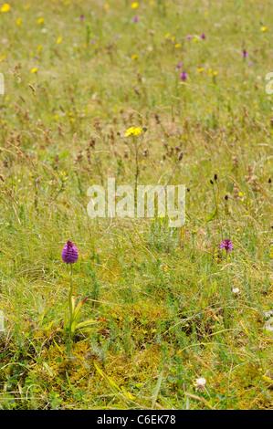 Pyramidal Orchid in meadow, anacamptis pyramidalis - Stock Photo
