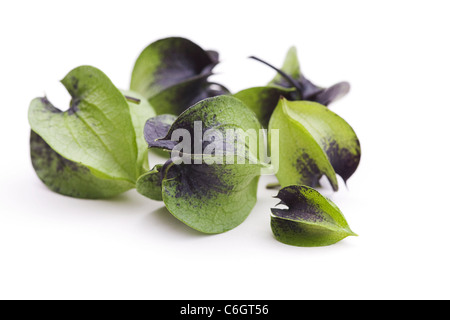 Nicandra physalodes. Unripe seed pods of the shoo-fly plant on a white background. - Stock Photo