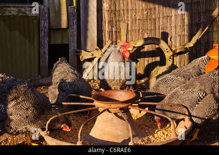 Chickens eating grain in the morning - Stock Photo