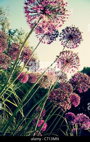 Ornamental onion, Allium, Purple spherical flower heads on long stems. - Stock Photo