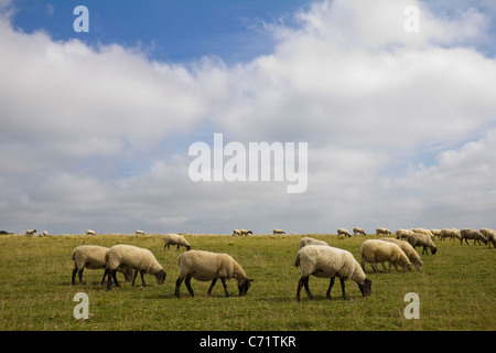 Sheep grazing in South Downs East Sussex England UK - Stock Photo