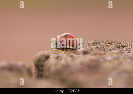 A ladybird or ladybug on a wooden fence post - Stock Photo