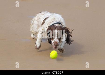 English Springer Spaniel chasing a ball on sandy beach - Stock Photo