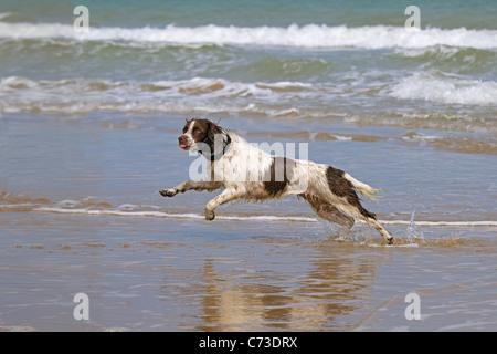 English Springer Spaniel chasing ball on beach - Stock Photo