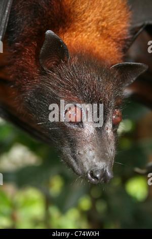 Large Flying Fox Pteropus vampyrus - Stock Photo
